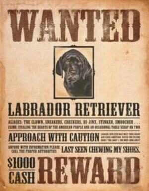 BLACK LAB WANTED